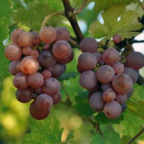 Alsace Grapes Riquewihr