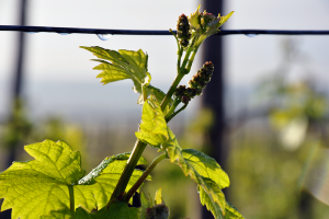 Alsace Growing Grapes