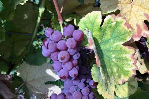 Jung Vineyard Grape