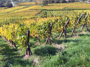 Alsace Vineyard Domaine Jung